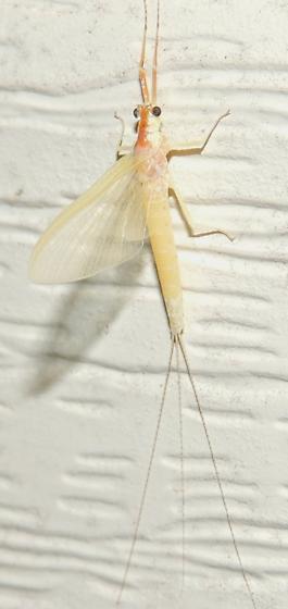 May fly? - Anthopotamus