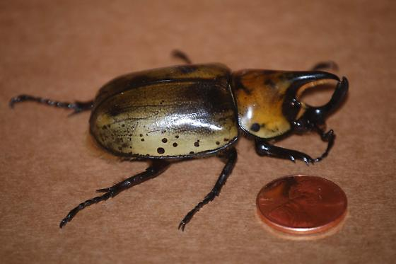 Pincher Beetle - Dynastes tityus - male