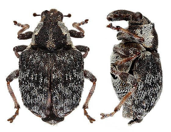 Unknown weevil - Pelenomus fuliginosus
