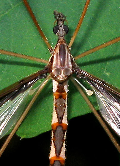 Crane Fly - Pedicia albivitta - male