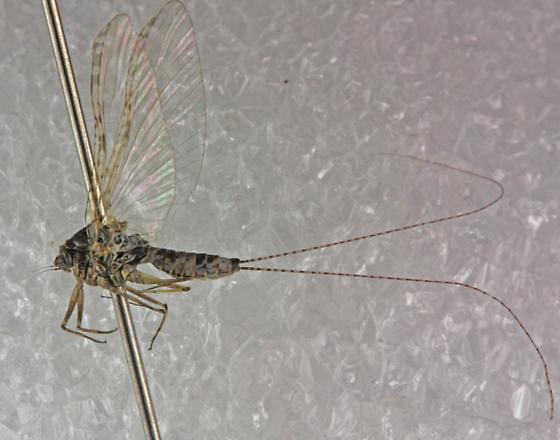 Ephemeroptera ID help - Baetisca lacustris
