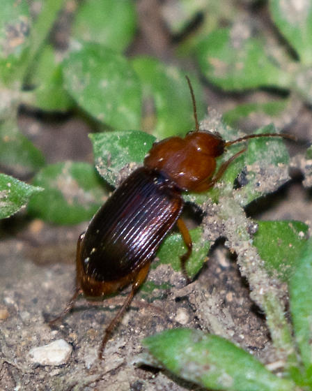 Reddish ground beetle