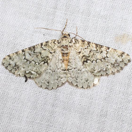 Carphoides setigera? - Tracheops bolteri