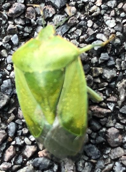 Green Leaf Hopper?