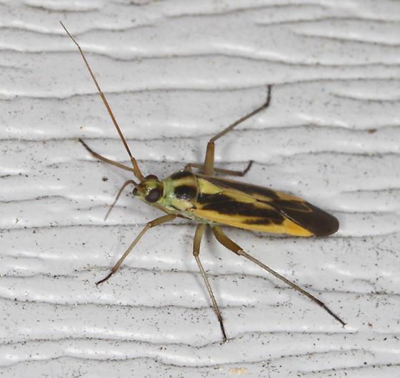 Miridae - Stenotus binotatus