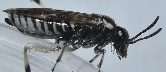 Sawfly (Tenthredinidae) - female
