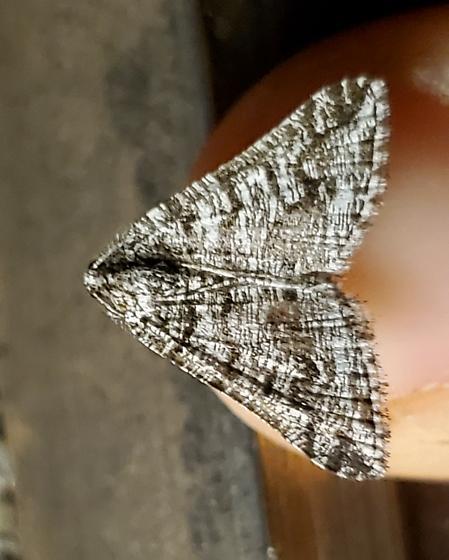 Moth - Macaria schatzeata - male