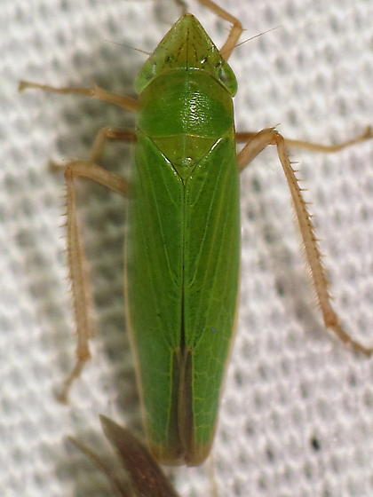 Draeculacephala ID req. - Draeculacephala