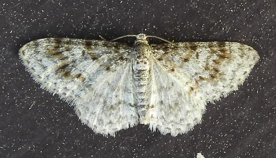 Hydrelia lucata - Light Carpet Moth - Hodges#7419 - Hydrelia lucata - male