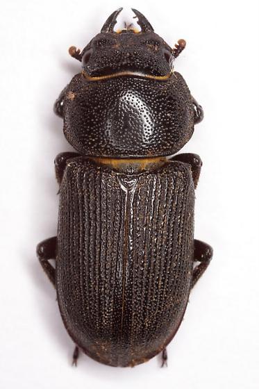 Dorcus parallelus (Say) - Dorcus parallelus - female