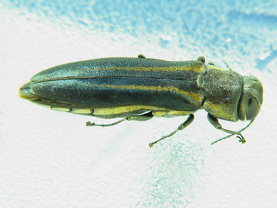 Bup with yellow racing stripes - Agrilus bilineatus