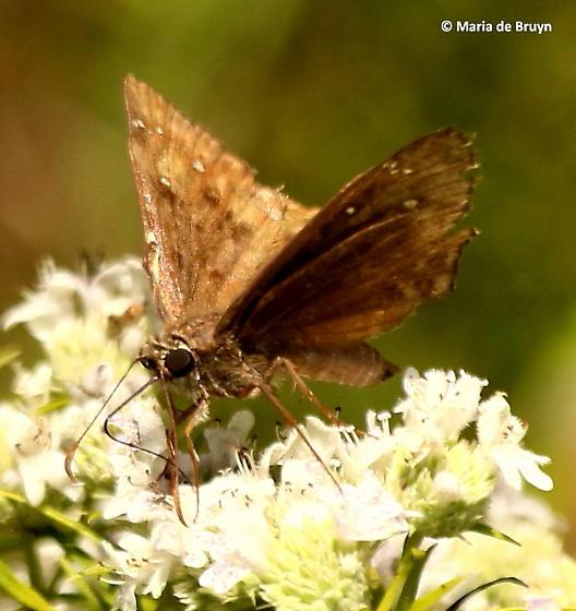 Horace's duskywing skipper - Erynnis horatius - male