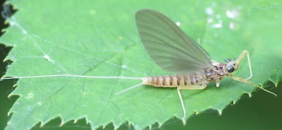 Deschutes Mayfly