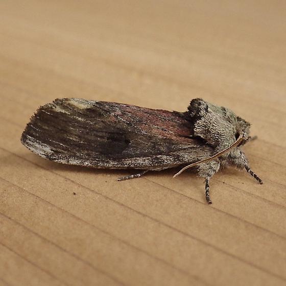 Notodontidae: Oligocentria semitufescens - Oligocentria semirufescens