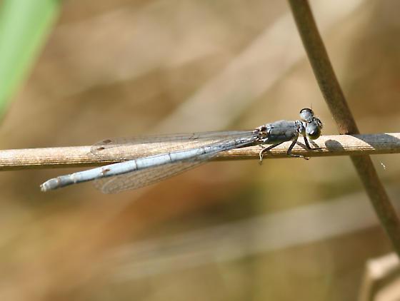 western forktail, mature female? - Ischnura perparva - female