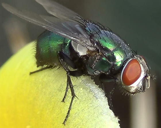 Green Blow Fly Close Ups (lateral-front) - Lucilia mexicana - female