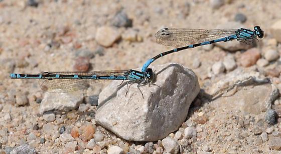 Subarctic bluets - Coenagrion interrogatum - male - female