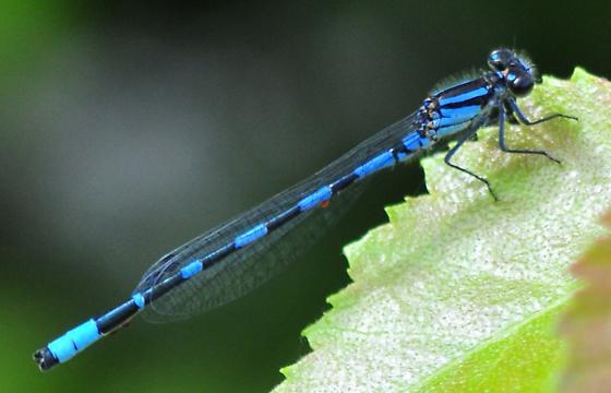 young male Little Bluet - Enallagma minusculum - male
