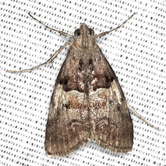 Pine Webworm Moth - Hodges #5595 - Pococera robustella - male