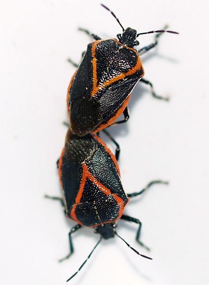 Pred. Stinkbugs - Perillus confluens - male - female