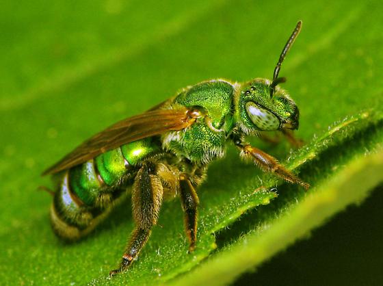 Green n' pretty - Agapostemon splendens - female