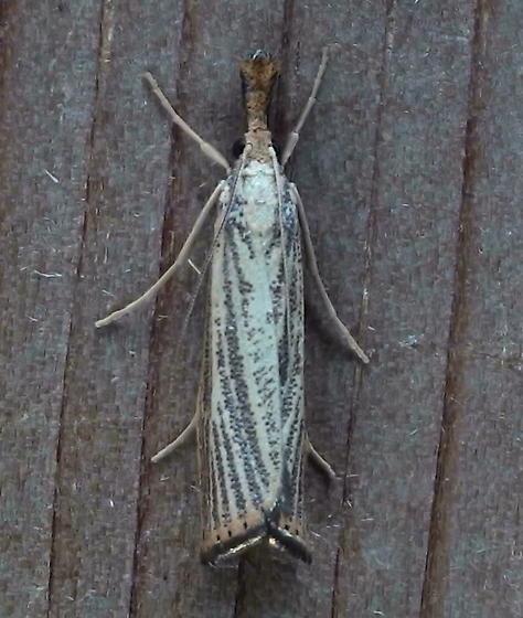 Crambidae: Agriphila vulgivagellus? - Agriphila vulgivagellus