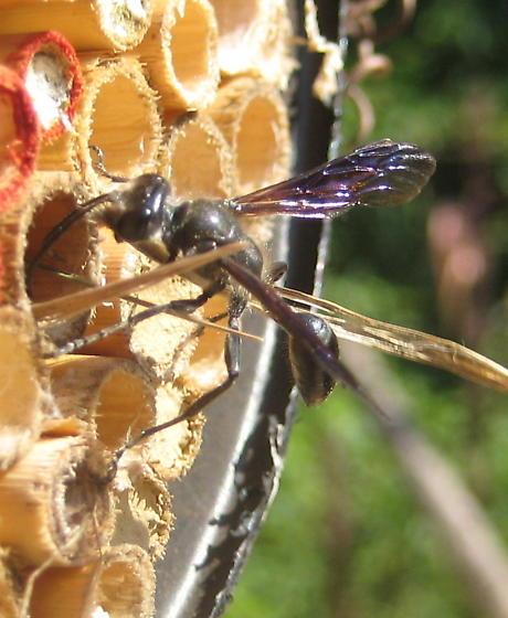 solitary bee - Isodontia mexicana - female