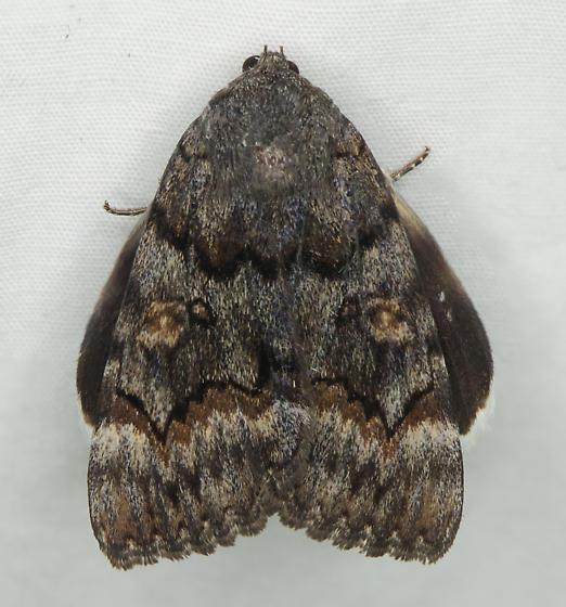 Unknown moth - Catocala epione