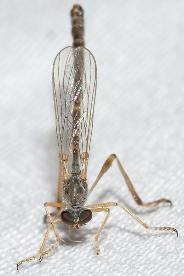 Genus Leptogaster. - Leptogaster