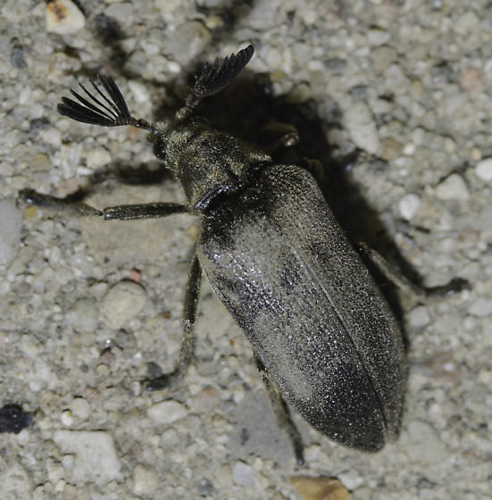 Beetle with antlers - Sandalus niger - male