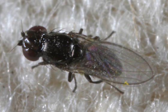 unknown small fly - Meoneura