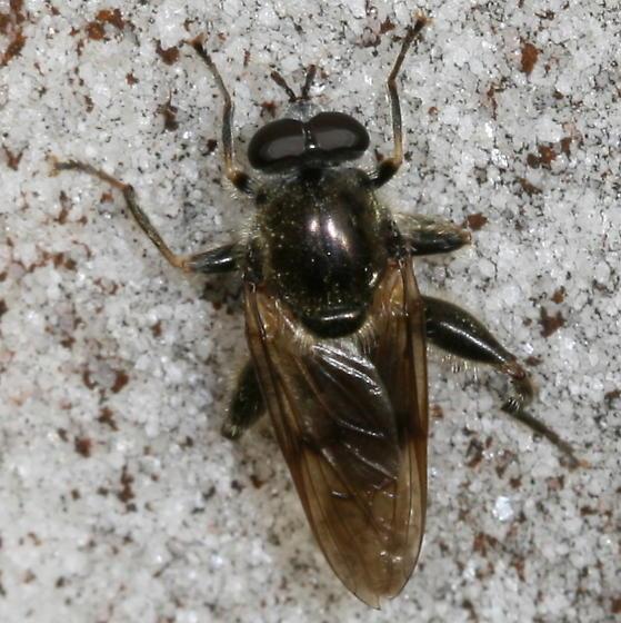 Syrphid Fly? - Brachypalpus oarus - male