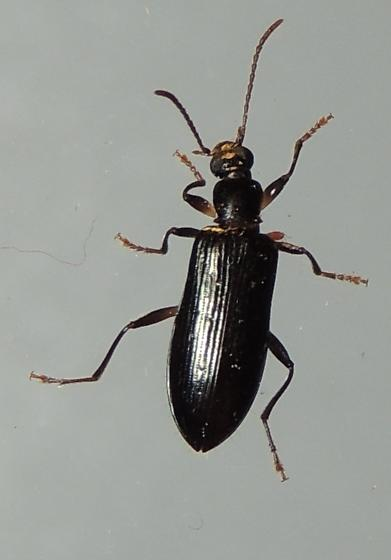 small black beetle with mite on leg - Statira basalis