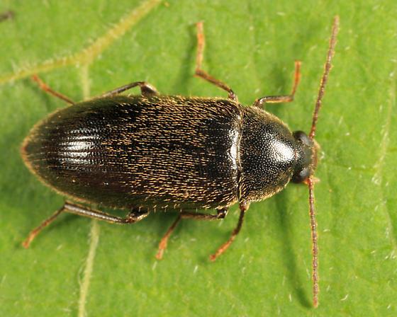 Darkling Beetle - Hymenorus obesus