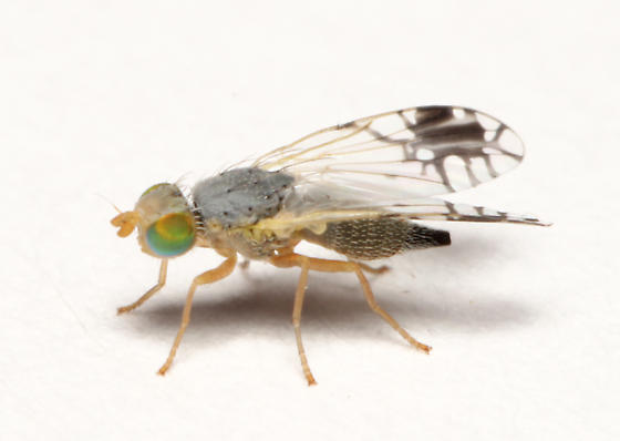 Tephritidae, lateral - Trupanea actinobola - female