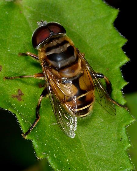 Unknown bee fly - Palpada vinetorum - male