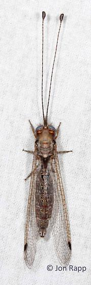 Owlfly - Ululodes macleayanus - female