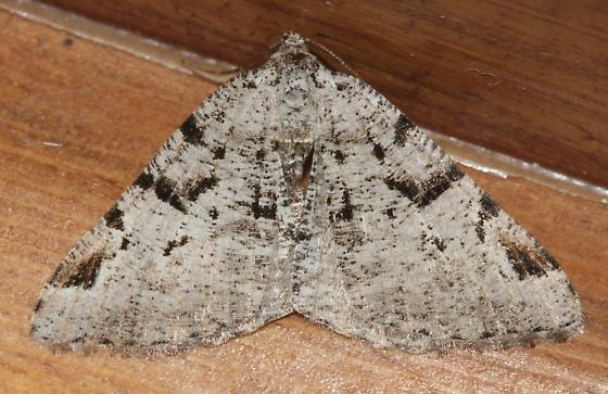 Split-lined Angle Moth - 6304 - Macaria bitactata