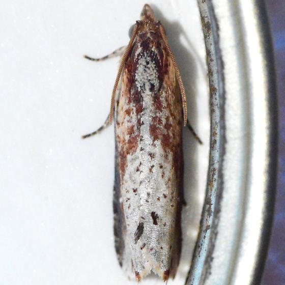 Inimical Borer Moth - Pseudogalleria inimicella