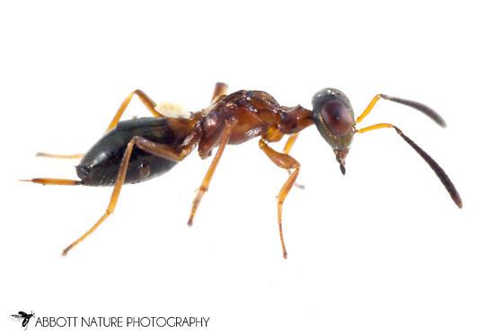 chalcidoid - Eupelmus - female