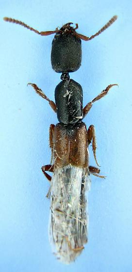 rove #25 - knot-neck - Stenistoderus rubripennis