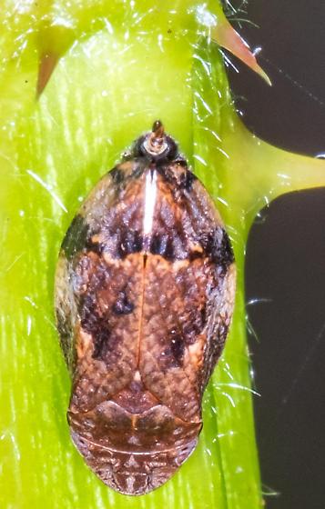Interesting creature on a blackberry cane.... - Lepyronia