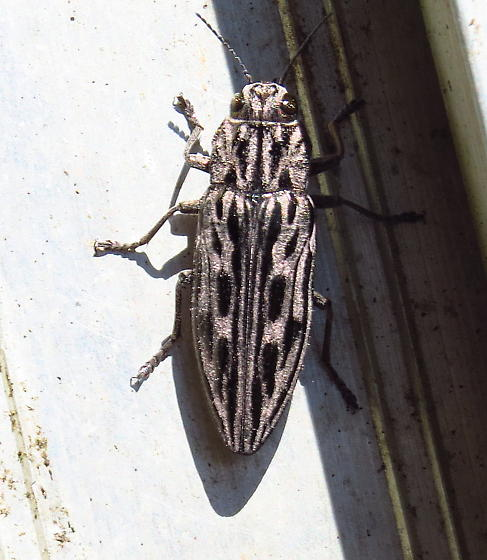 Beetle - Chalcophora angulicollis