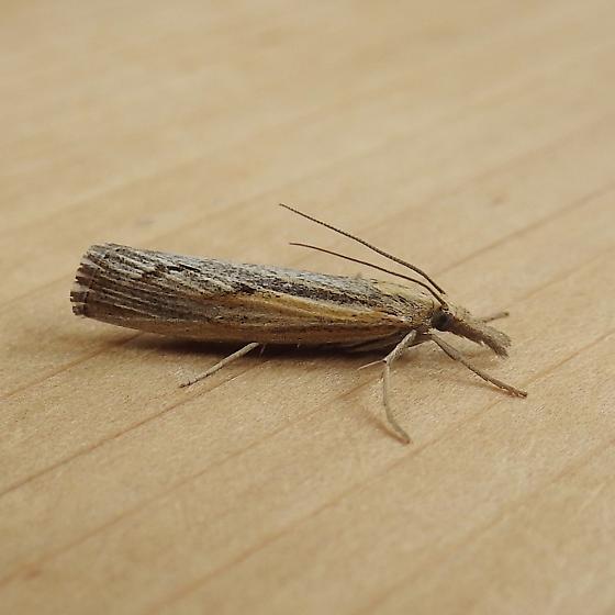 Crambidae: Pediasia trisecta - Pediasia trisecta