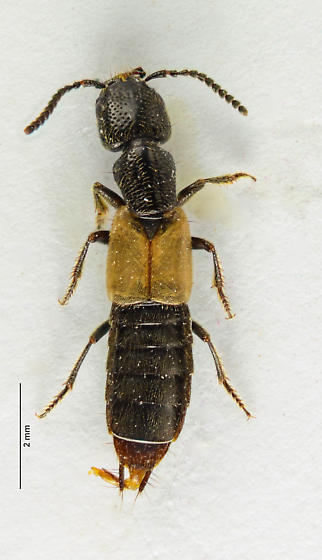 Staphylinid - Cafius luteipennis