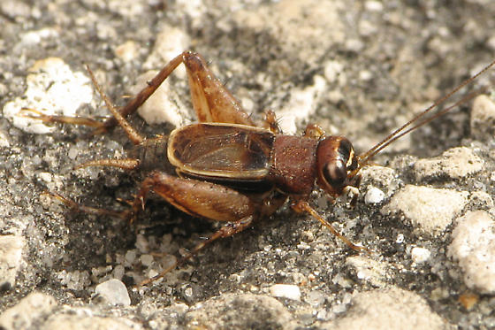 Small Cricket - Pictonemobius - male