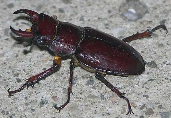 Pinching Beetle - Lucanus capreolus