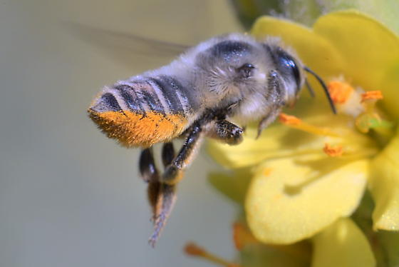 Bee 13-14mm - Megachile