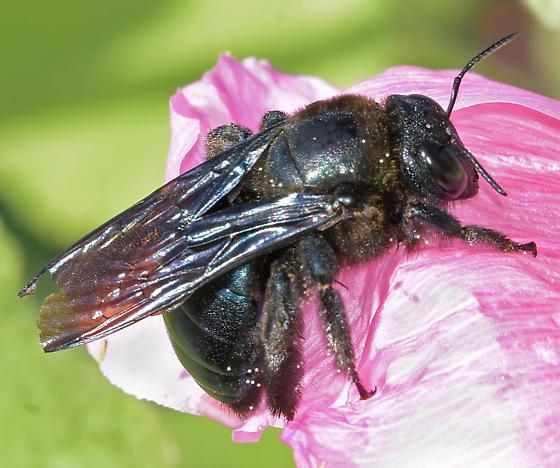 Western Carpenter Bee - Xylocopa californica