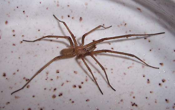 Large Male Southern House Spider (Kukulcania hibernalis) - Kukulcania hibernalis - male